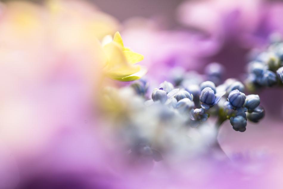 hydrangea-3.jpg