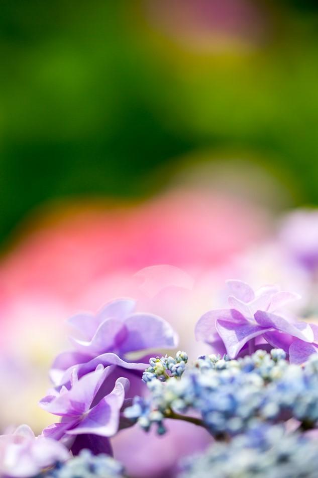 hydrangea-5.jpg