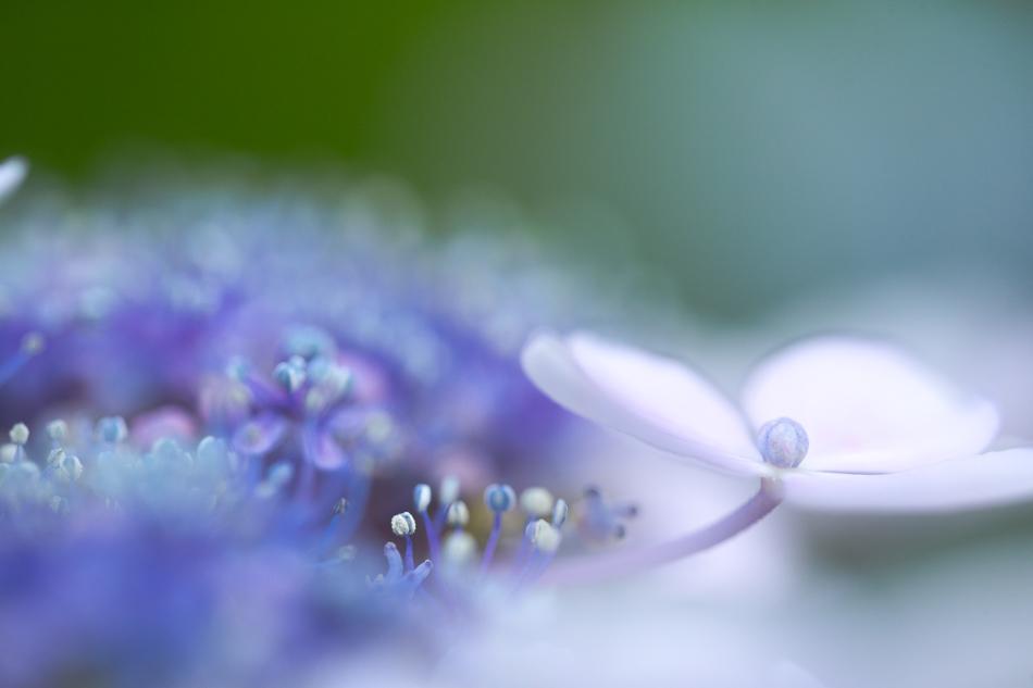 hydrangea-9.jpg
