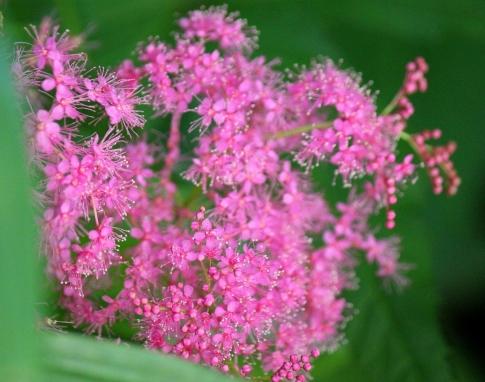 庭の山野草 014-001