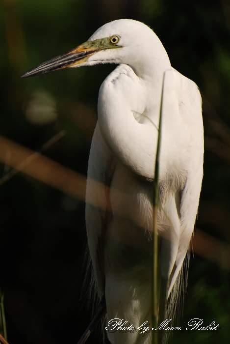チュウダイサギ 鷺のコロニー 中山川大橋 愛媛県西条市小松町