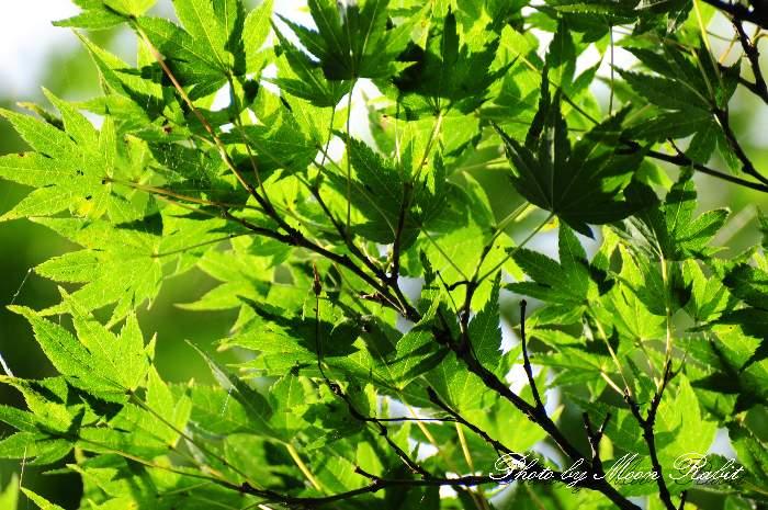 楓 愛媛県西条市中野