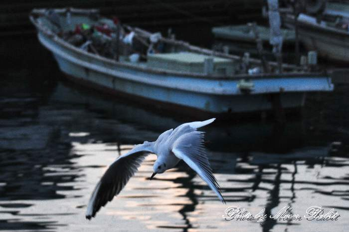 鴎(カモメ) 西条漁港 愛媛県西条市北浜南