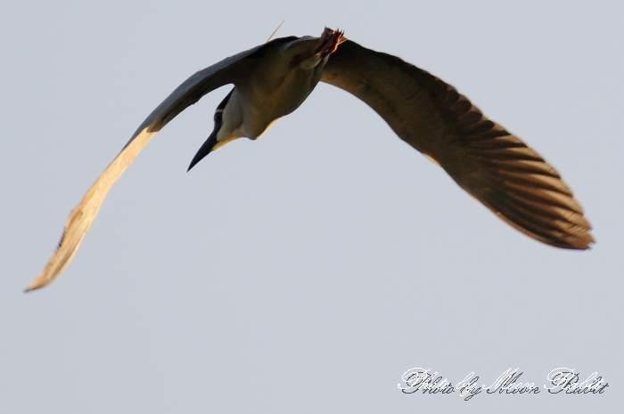 ゴイサギ 中山川大橋 鷺のコロニー