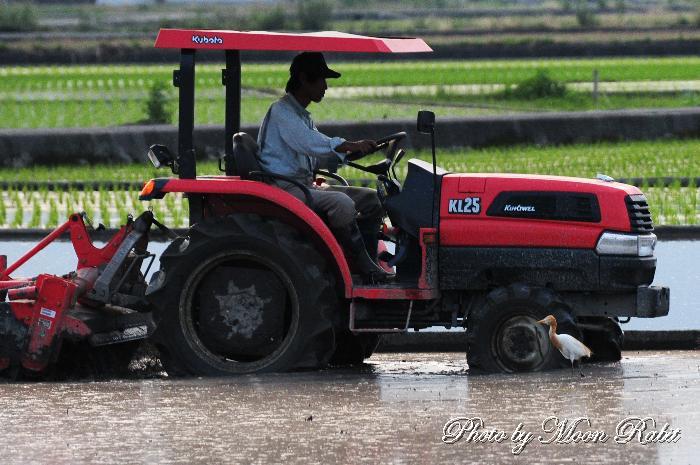 耕運機とアマサギ 愛媛県西条市周布