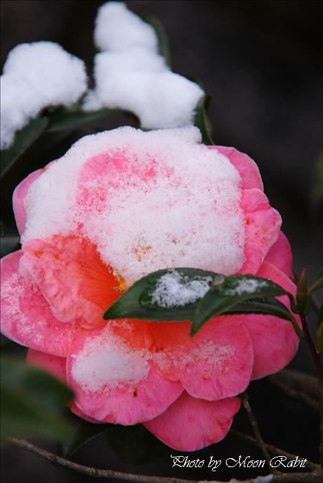 雪椿 愛媛県西条市加茂千丈 1月の花
