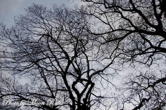 西条高校大手門脇の堤の木々