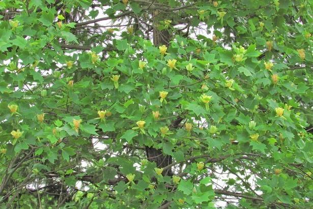 hanatomidori170514-114.jpg