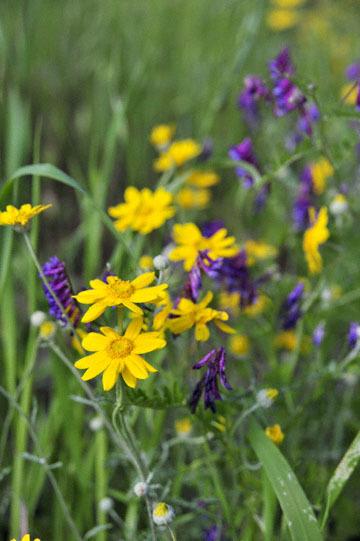 blog 28 Bear Valley, Common Woolly Sunflower & Vetch_DSC6616-4.14.16.jpg