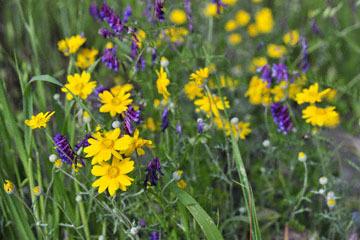 blog 28 Bear Valley, Common Woolly Sunflower & Vetch_DSC6615-4.14.16.jpg