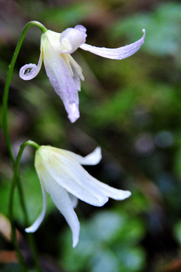 blog 28 Bear Valley, California Fawn Lily 2_DSC6650-4.14.16.jpg