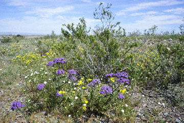 blog 10 Mojave to Daggett 58E, Phacelia & Pincushion_DSC6814-3.19.17.(1).jpg