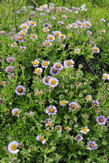 blog 30 Mendocino, Downtown Hiking Trail, Seaside Daisy, CA_DSC6747-4.16.16.(2).jpg
