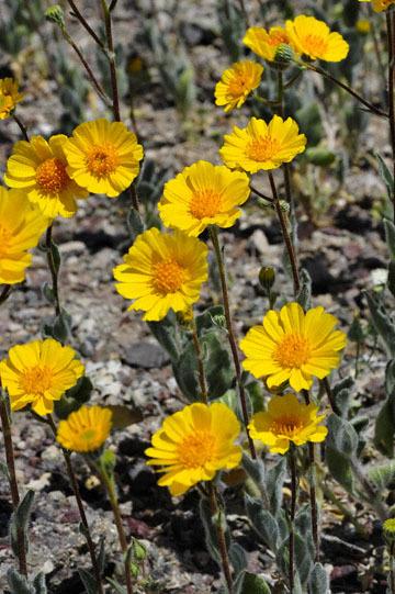 blog 11 Mojave Desert, Railway Trains & Route 66, CA|58W at the Clay Road, Desert Sunflower ?2_DSC6868-3.19.17.(2).jpg