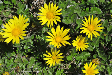 blog 31 Caspar Headlands State Preserve, Yellow flowers, Mendocino, CA_DSC6825-4.17.16.jpg