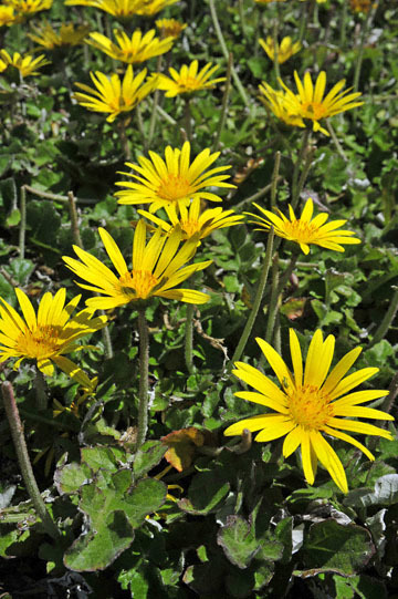blog 31 Caspar Headlands State Preserve, Yellow flowers, Mendocino, CA_DSC6829-4.17.16.jpg
