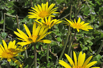 blog 31 Caspar Headlands State Preserve, Yellow flowers, Mendocino, CA 2_DSC6828-4.17.15.jpg