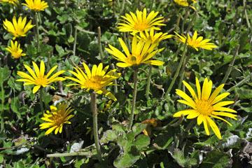 blog 31 Caspar Headlands State Preserve, Yellow flowers, Mendocino, CA_DSC6826-4.17.16.jpg
