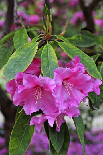 blog 31 Fort Bragg Garden, Rhododendron 'Ruby F. Bowman,' CA_DSC6871-4.19.16.jpg