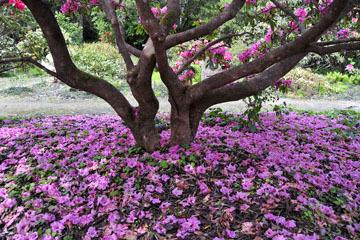 blog 31 Fort Bragg Garden, Rhododendron 'Ruby F. Bowman,' CA_DSC6868-4.19.16.jpg