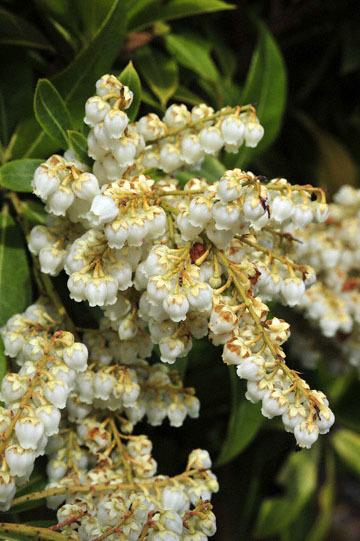 blog 31 Fort Bragg Garden, Ericaceae, CA_DSC6867-4.19.16.jpg