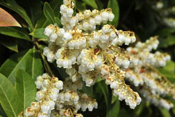 blog 31 Fort Bragg Garden, Ericaceae, CA_DSC6866-4.19.16.jpg