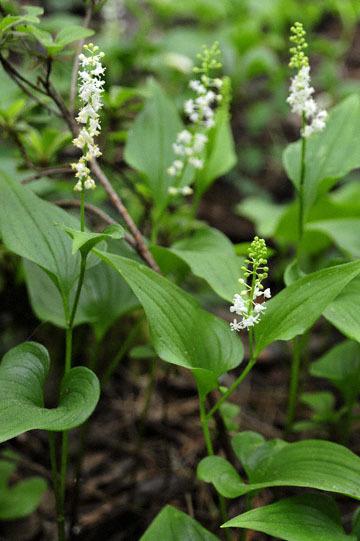 blog 31 Fort Bragg Garden, Flase Lily of the Valley, CA 2_DSC6877-4.19.16.jpg