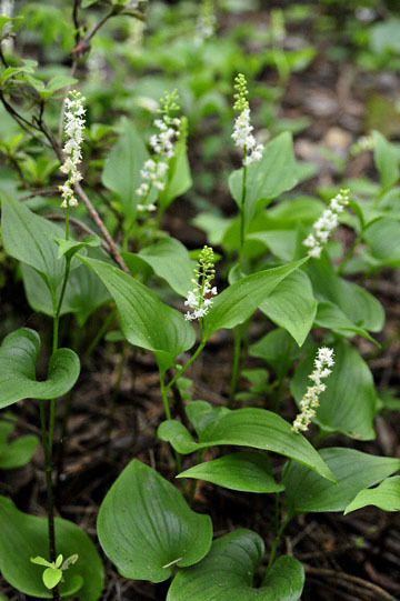 blog 31 Fort Bragg Garden, Flase Lily of the Valley, CA_DSC6876-4.19.16.jpg
