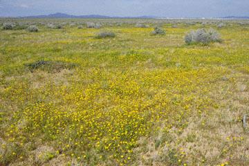 blog 11 Mojave Desert, CA|58W near Mojave, Goldfields_DSC6920-3.19.17.(2).jpg