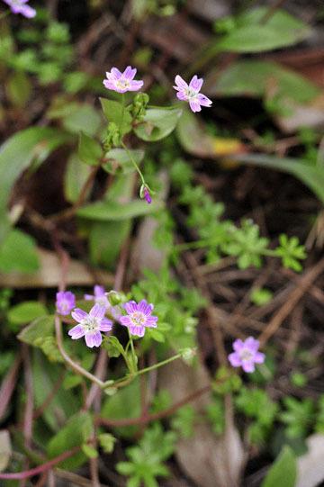 blog 31 Fort Bragg Garden, Siberian Candyflower, CA_DSC6888-4.19.16.jpg