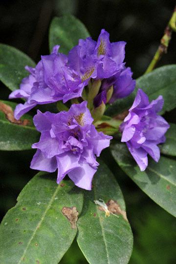 blog 31 Fort Bragg Garden, Rhododendron, CA_DSC6907-4.19.16.jpg