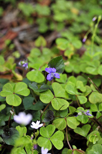 blog 32 Fort Bragg Garden, Sorrel & Violet, CA_DSC6916-4.19.16.jpg