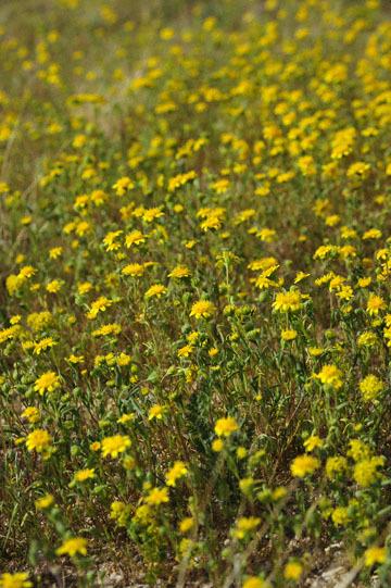 blog 11 Mojave Desert, CA|58W near Mojave, Goldfields_DSC6931-3.19.17.(2).jpg