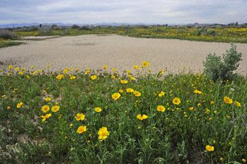 blog 11 Mojave Desert, CA|58W near Mojave, Coreopsis?_DSC6945-3.19.17.(2).jpg