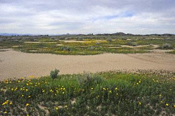 blog 11 Mojave Desert, CA|58W near Mojave, Coreopsis?_DSC6942-3.19.17.(2).jpg