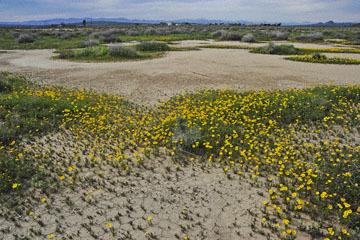 blog 11 Mojave Desert, CA|58W near Mojave, Coreopsis?_DSC6955-3.19.17.(2).jpg