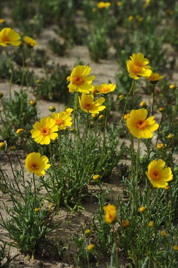 blog 11 Mojave Desert, CA|58W near Mojave, Coreopsis?_DSC6954-3.19.17.(2).jpg