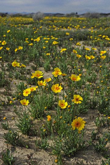 blog 11 Mojave Desert, CA|58W near Mojave, Coreopsis?_DSC6953-3.19.17.(2).jpg