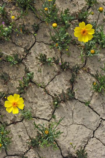 blog 11 Mojave Desert, CA|58W near Mojave, Coreopsis? 2_DSC6950-3.19.17.(2).jpg