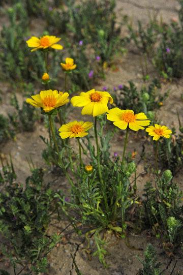 blog 11 Mojave Desert, CA|58W near Mojave, Coreopsis?_DSC6949-3.19.17.(2).jpg