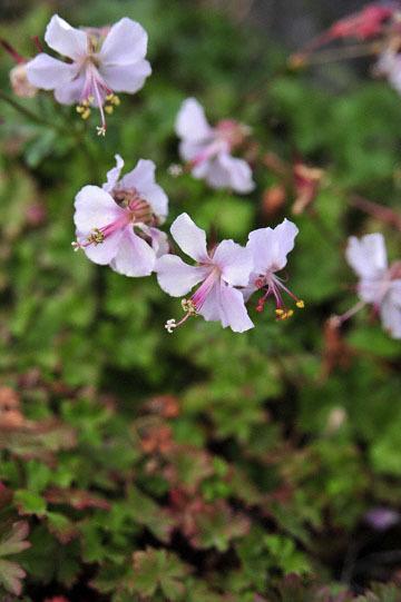 blog 32 Fort Bragg Garden, Clarkia?, CA_DSC6932-4.19.16.jpg