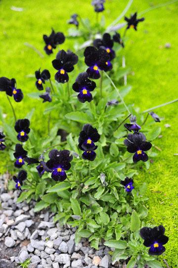blog 32 Fort Bragg Garden, Dark Violet, CA_DSC6931-4.19.16.jpg