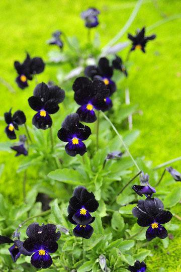 blog 32 Fort Bragg Garden, Dark Violet, CA_DSC6930-4.19.16.jpg