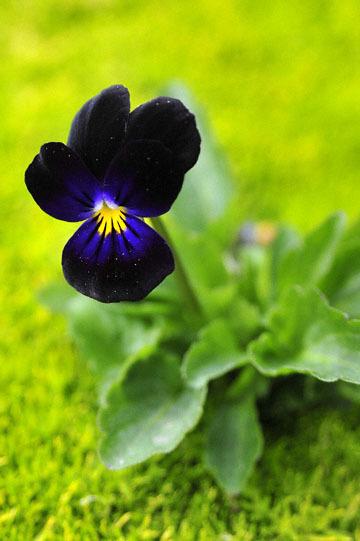 blog 32 Fort Bragg Garden, Dark Violet, CA_DSC6929-4.19.16.jpg