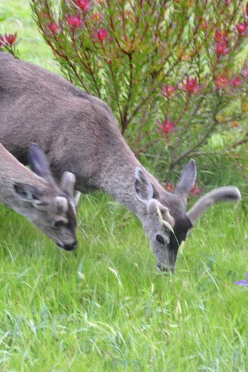 blog 33 Fort Bragg, Deer, CA_DSC6950-4.19.16.jpg
