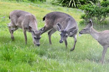 blog 33 Fort Bragg, Deer, CA_DSC6949-4.19.16.jpg