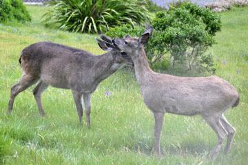 blog 33 Fort Bragg, Deer, CA_DSC6946-4.21.16.jpg