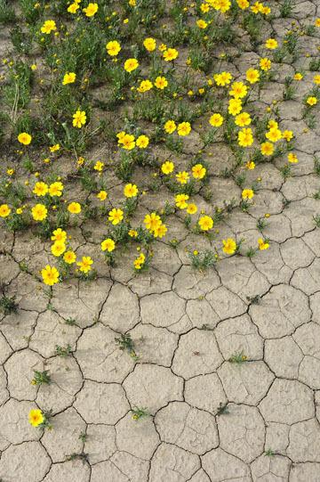 blog 11 Mojave Desert, CA|58W near Mojave, Coreopsis? 2_DSC6976-3.19.17.(2).jpg
