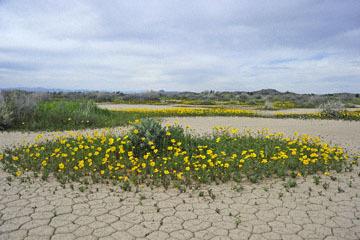 blog 11 Mojave Desert, CA|58W near Mojave, Coreopsis?_DSC6970-3.19.17.(2).jpg