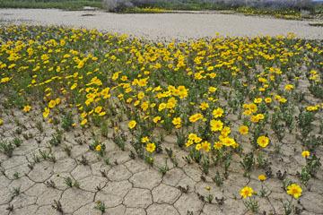 blog 11 Mojave Desert, CA|58W near Mojave, Coreopsis?_DSC6991-3.19.17.(2).jpg